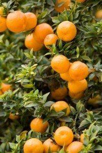 Alle sitrusfrukter inneholder C-vitamin